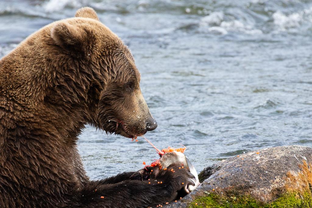 Bear Viewing Alaska at Brooks Falls