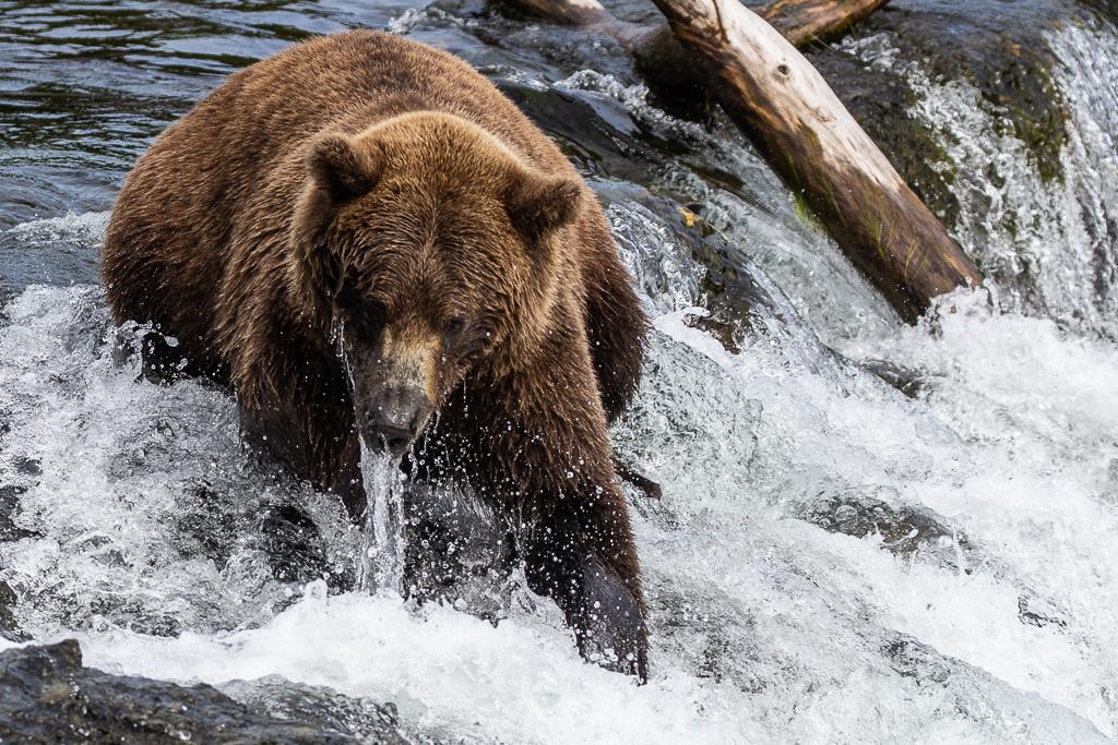 Katmai bear viewing