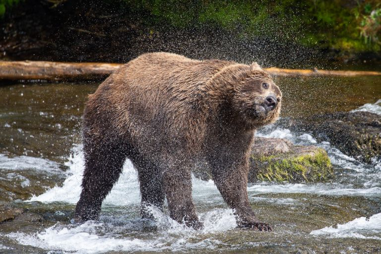 brown bear in brooks falls alaska