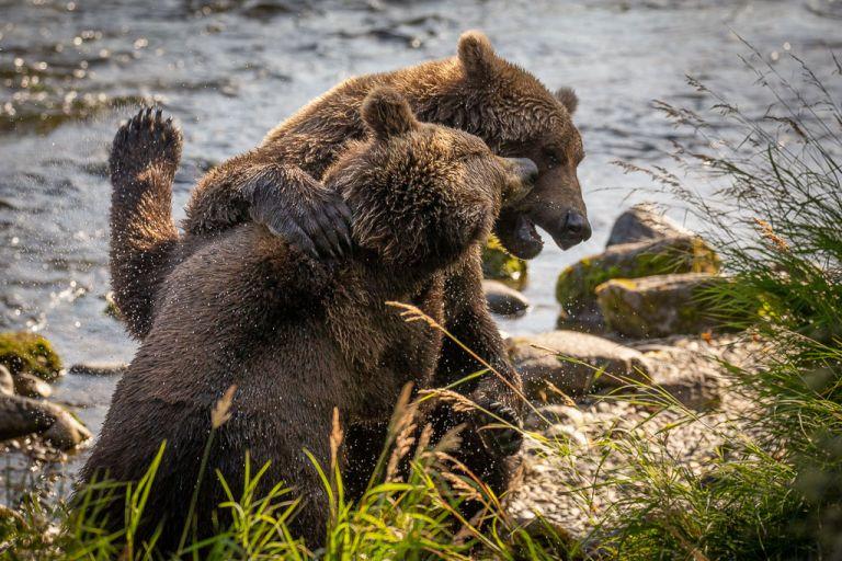 fighting bears in Katmai National Park Alaska Brooks Falls