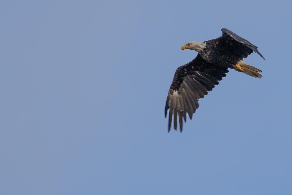 bald eagle flying over kenai peninsula - Three best places to visit at Kenai Peninsula Alaska