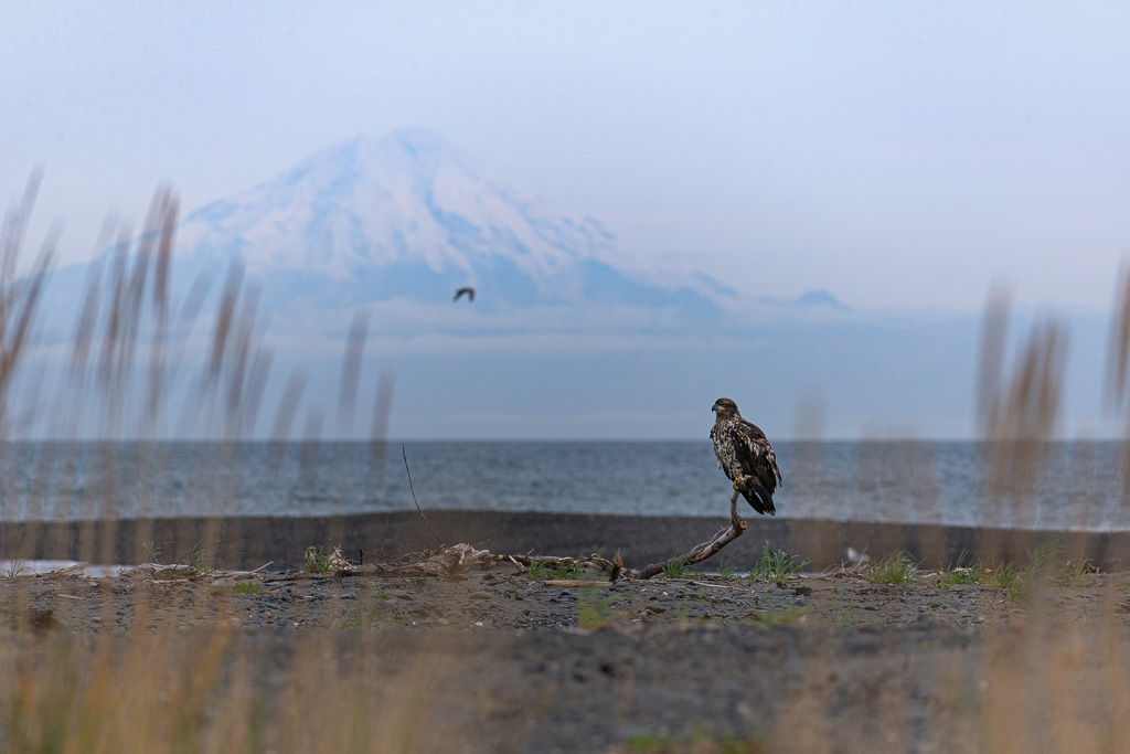 Alaska Road Trip - eagle with volcano anchor point