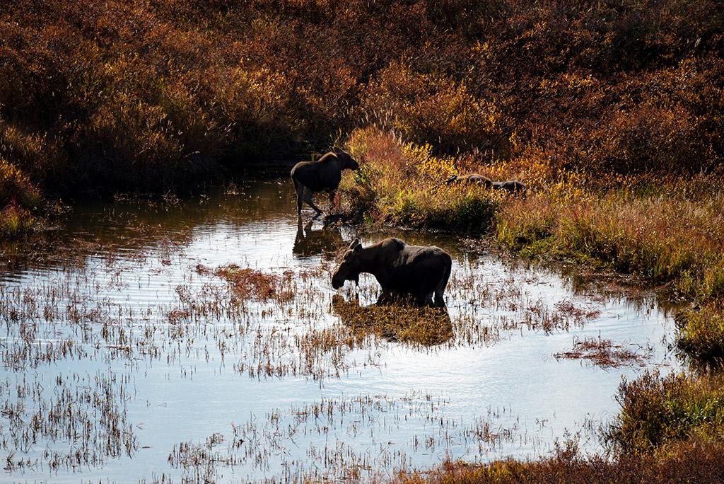 moose in the pond denali national park