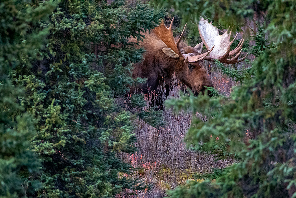 moose from denali national park