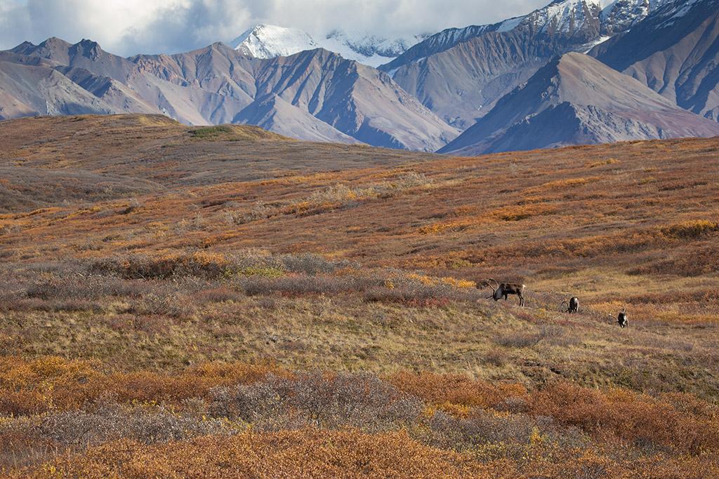 Alaska Road Trip - caribou in denali national park