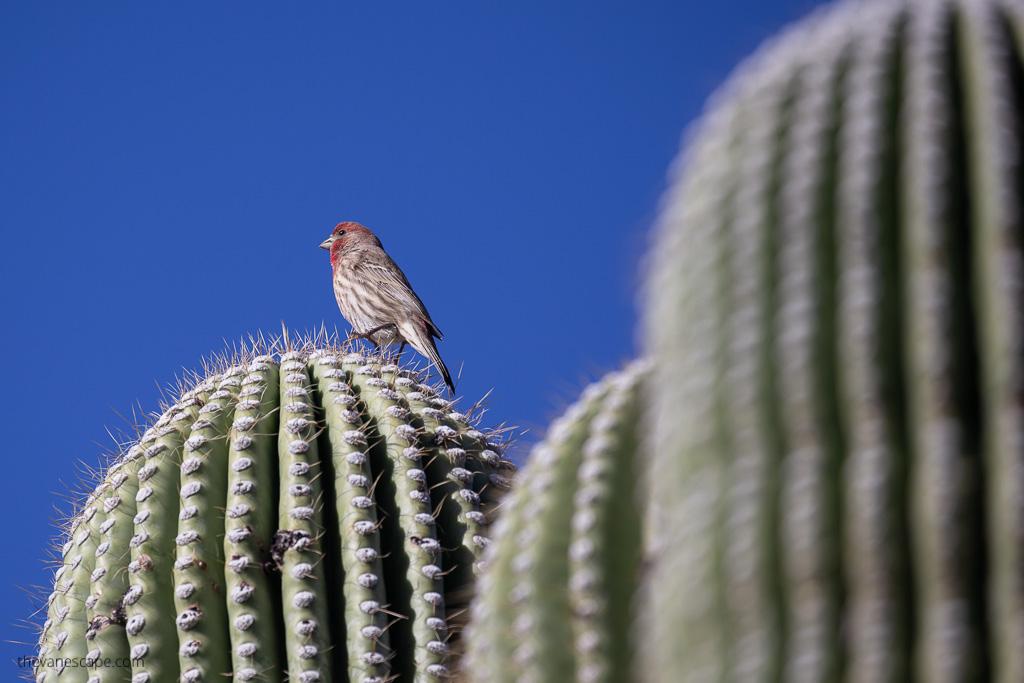 bird watching in Saguaro National Park