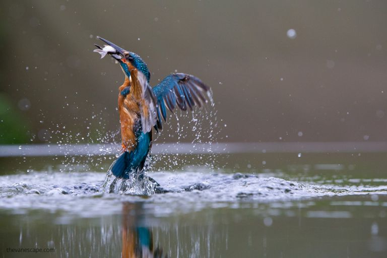 kingfisher catching fish - wildlife photography guide