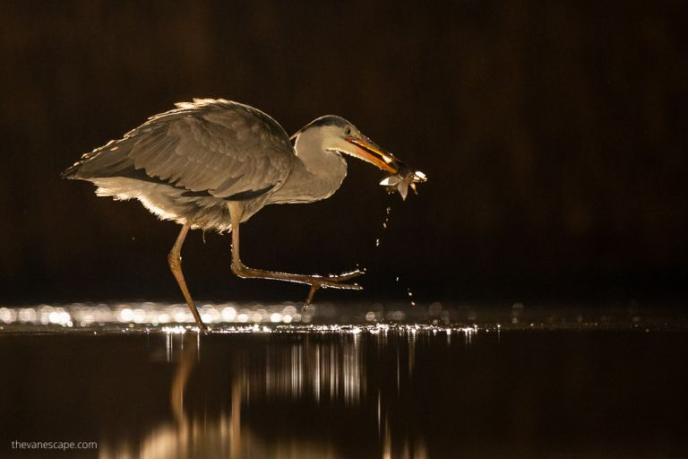 Blue Heron eating at night - wildlife photography guide