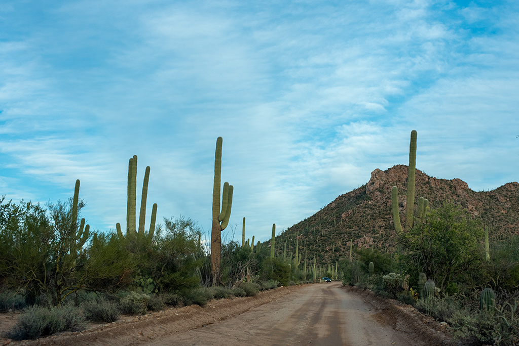 cacti forest in Saguaro National Park