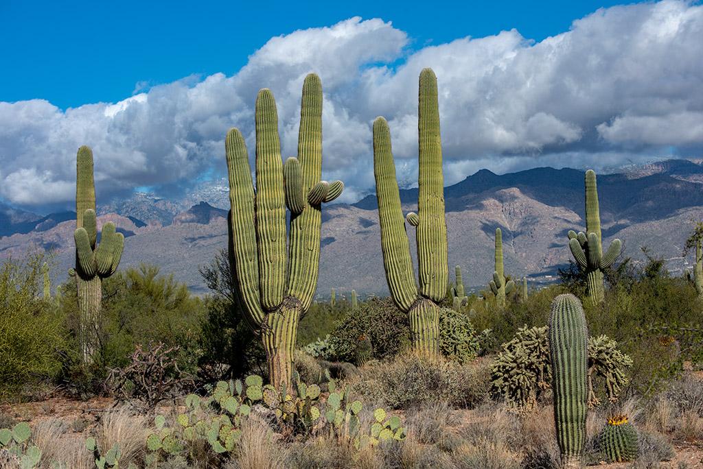 cacti in Saguaro National Park East