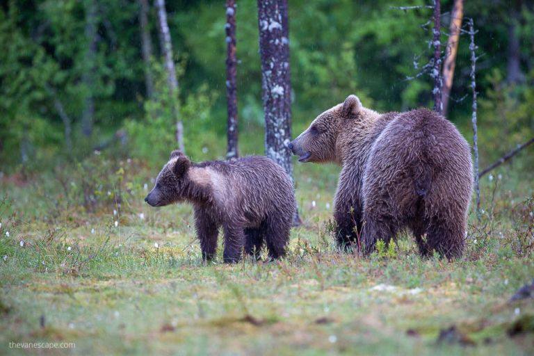 Eurasian Brown Bears - Wildlife Photography Guide