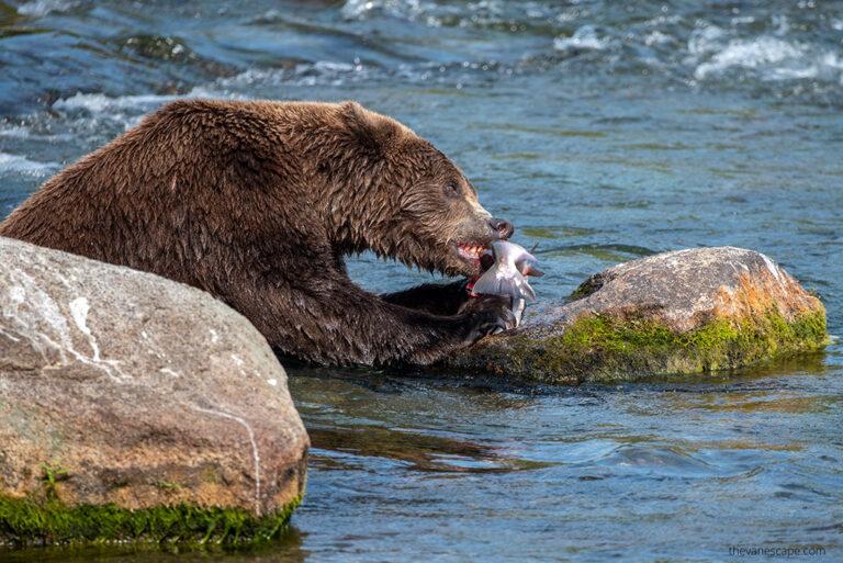 Bear Viewing Alaska – Eye to Eye With a Brown Bear