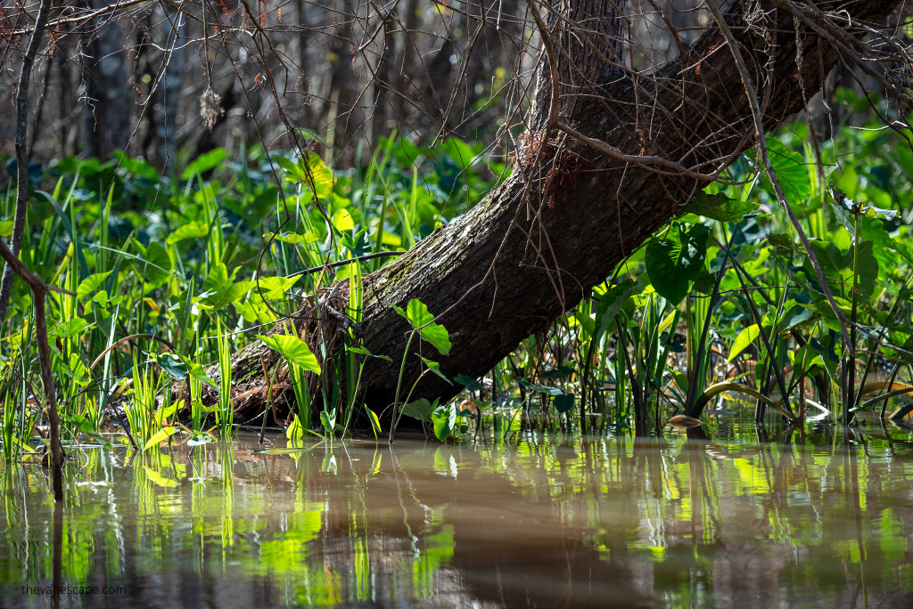 bayou swamp tours in New Orleans