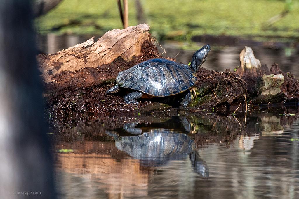 turtles on the marshland